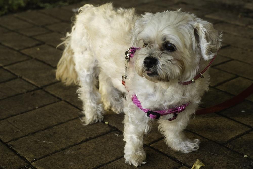 Australia Day 2014 Queanbeyan - Scruffy Puppy