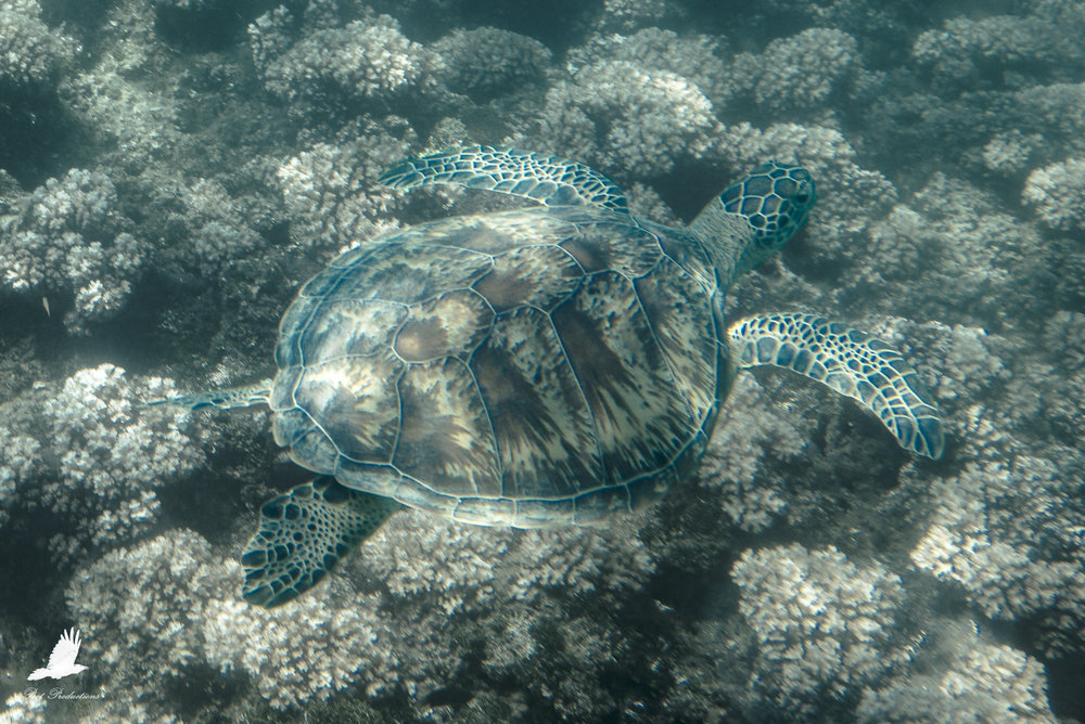 An adolescent Sea Turtle