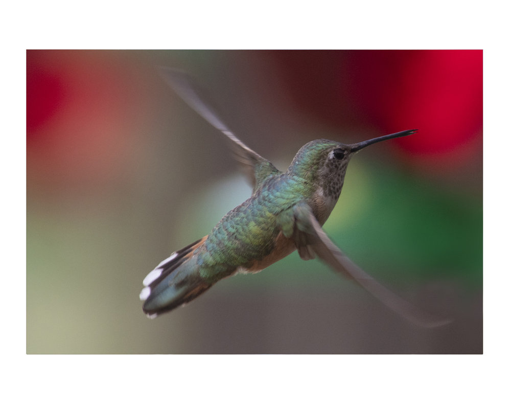 hummingbird_photos_stanislawakodman.jpg