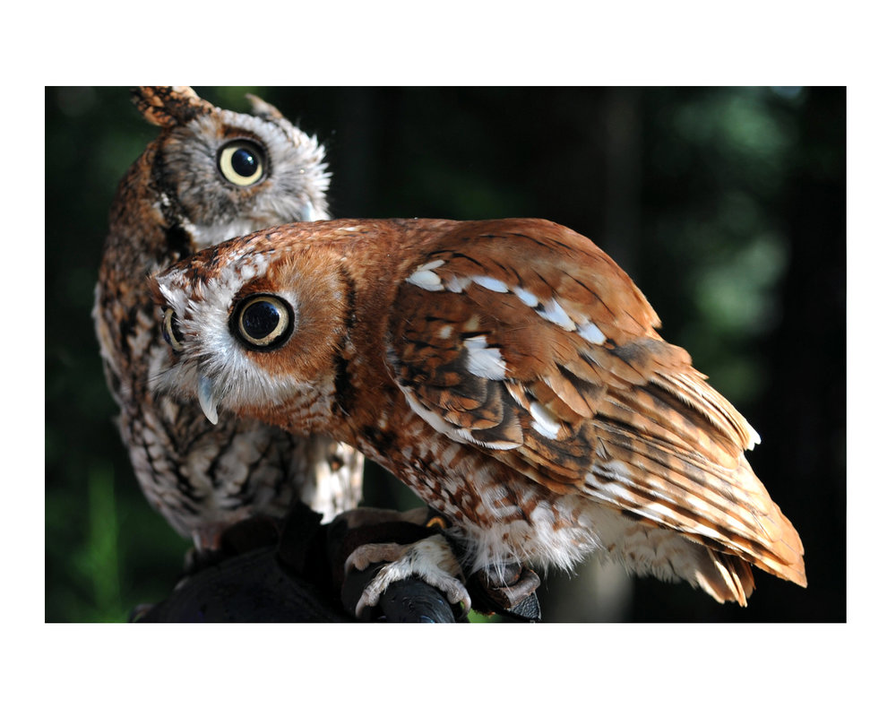 screechOwls_photos_stanislawakodman.jpg