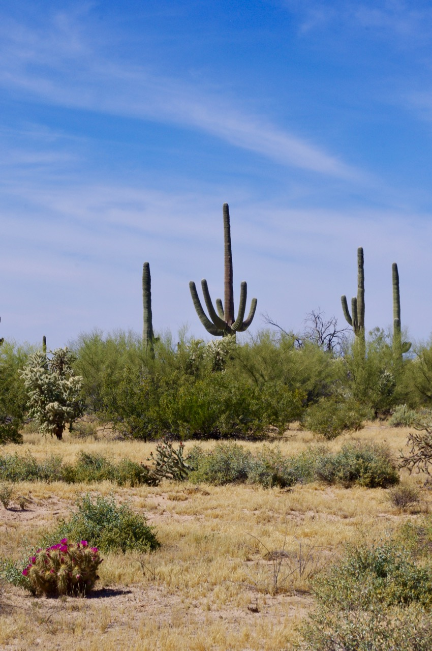 This photo has it all...saguaro, huge cholla, blooming cholla, and blooming Skinny Congregating Barrel Cactus SCBC).