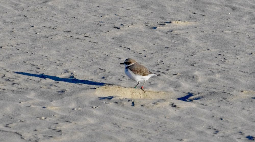 I assume this is Snowy Plover Guy, as he was hanging around next to the one below who might be sitting on [her?] nest