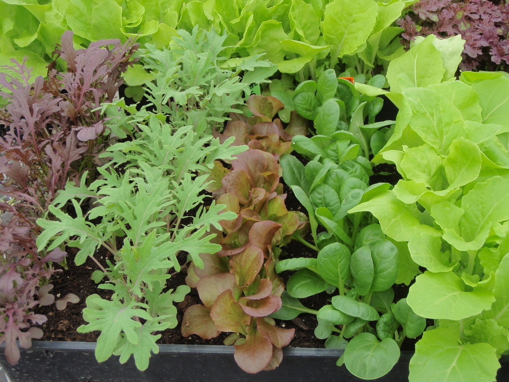 Salad greens spring 2013