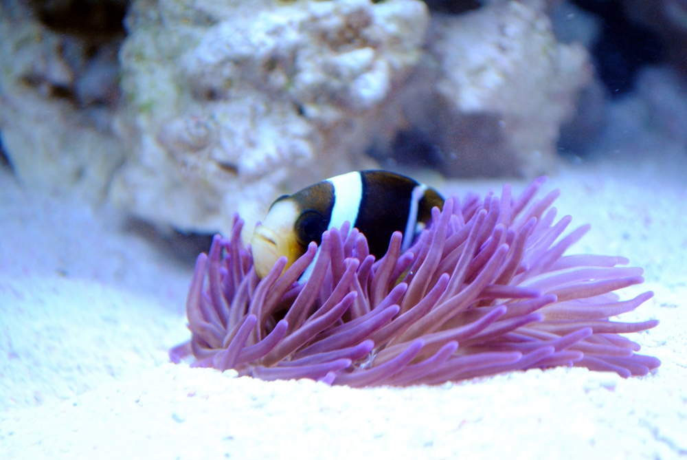 One of my tropical anemone fish interacting with a tropical anemone. Certainly my favorite mutualism.  Photo courtesy of Christopher D. Wells
