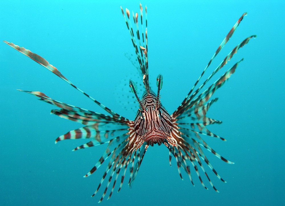 The introduced lionfish Pterois volitans .  It is suspected to have been introduced by aquarium keepers and has become established in the Caribbean.  Photo courtesy of wikimedia.org.