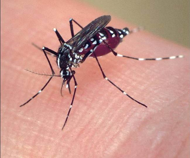 The Asian tiger mosquito having a blood meal.  These mosquitoes are known to carry at least 20 diseases.  Photo courtesy of delaware.gov.