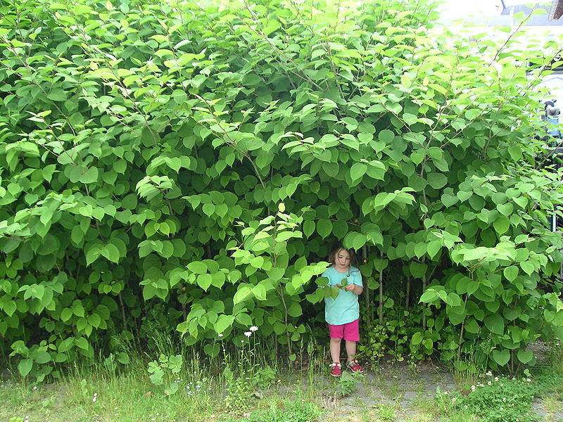 Japanese knotweed. Photo credit: Gav, wikimedia commons