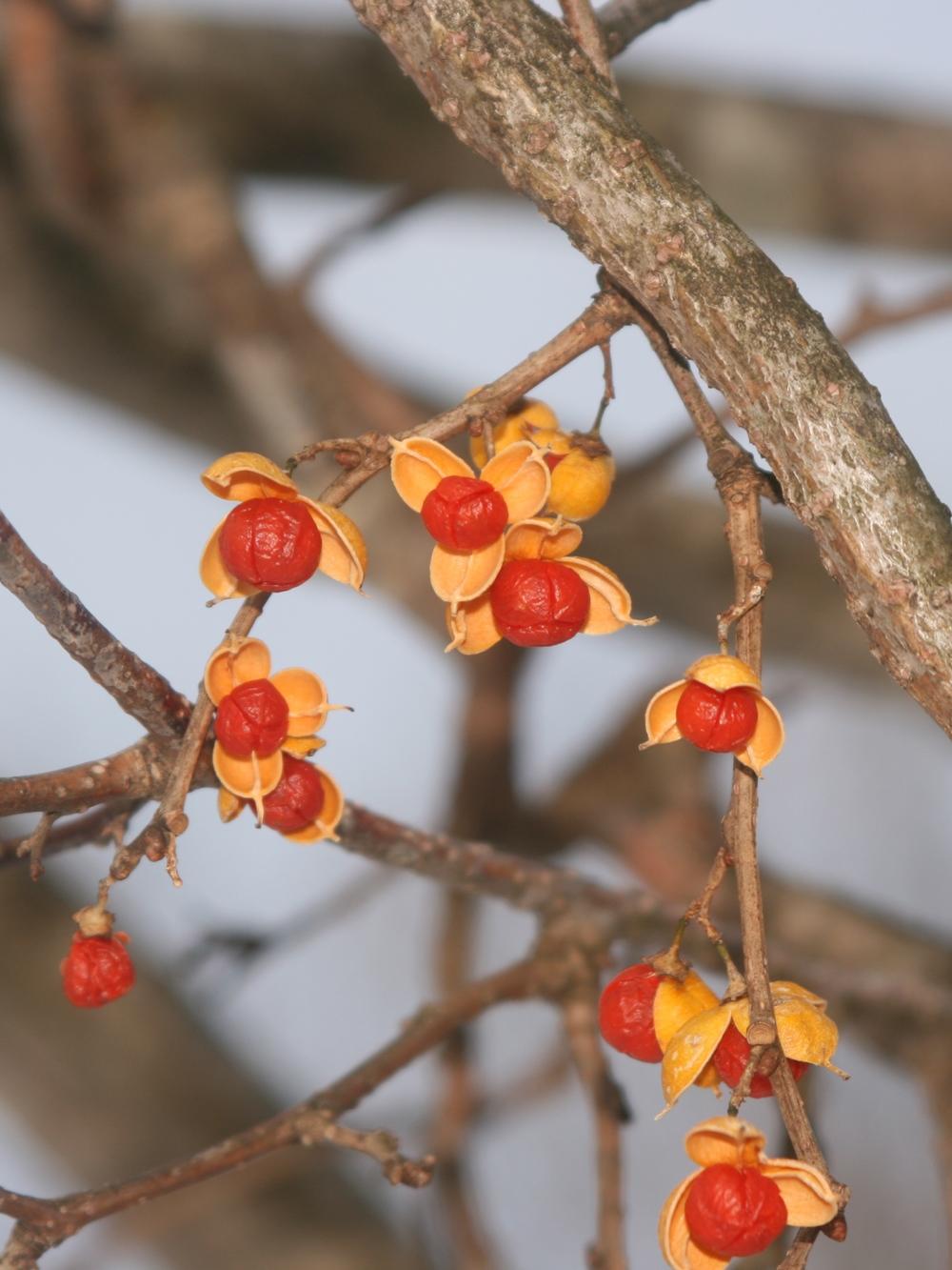 Oriental bittersweet fruits. Photo credit: Alpsdake, wikimedia commons