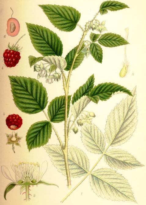 Raspberry. Image credit C.A.M. Lindman