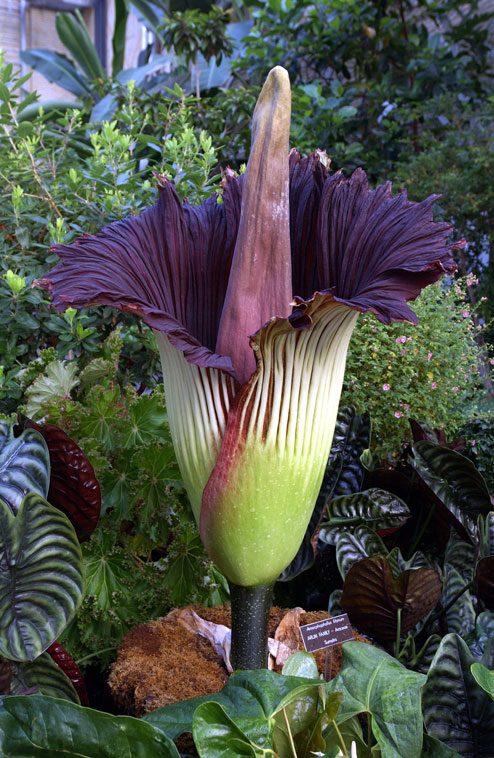 Titan arum . Photo credit: US Botanic Garden. wikimedia commons