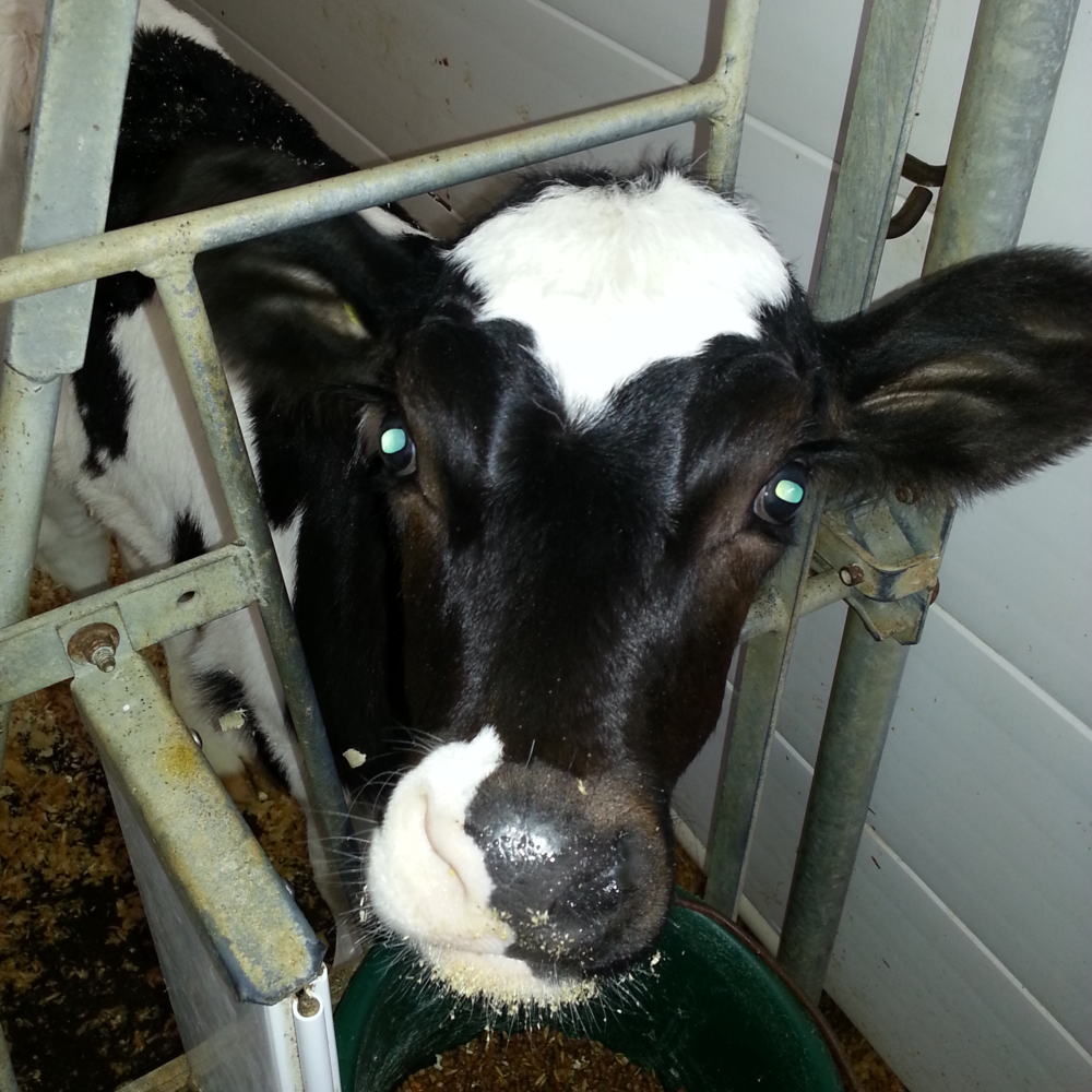 Gratuitous baby calf pic of the week