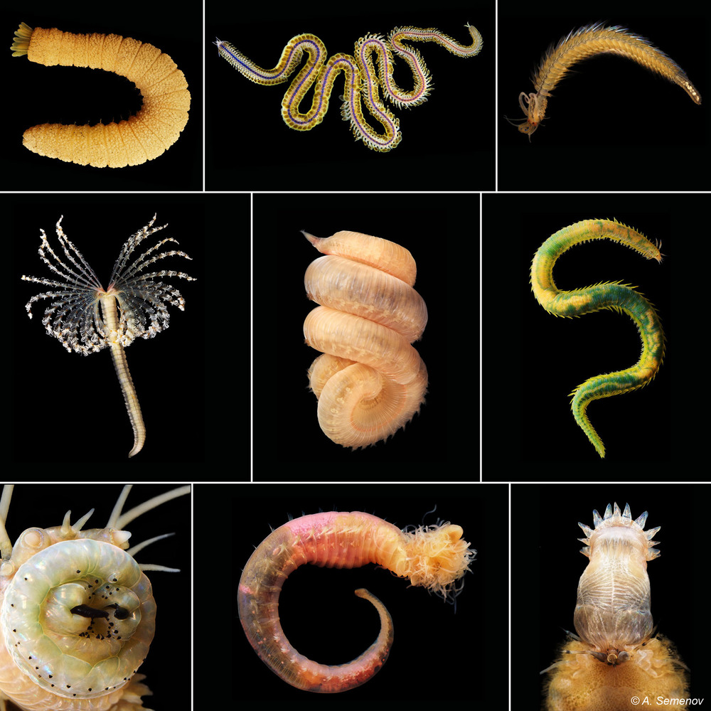 Representatives of the the diversity of types of worms found throughout the survey.  Photo credit: A. Semenov