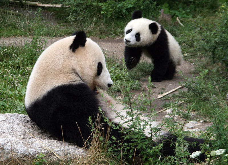 Giant pandas. Photo credit: Manfred Werner.