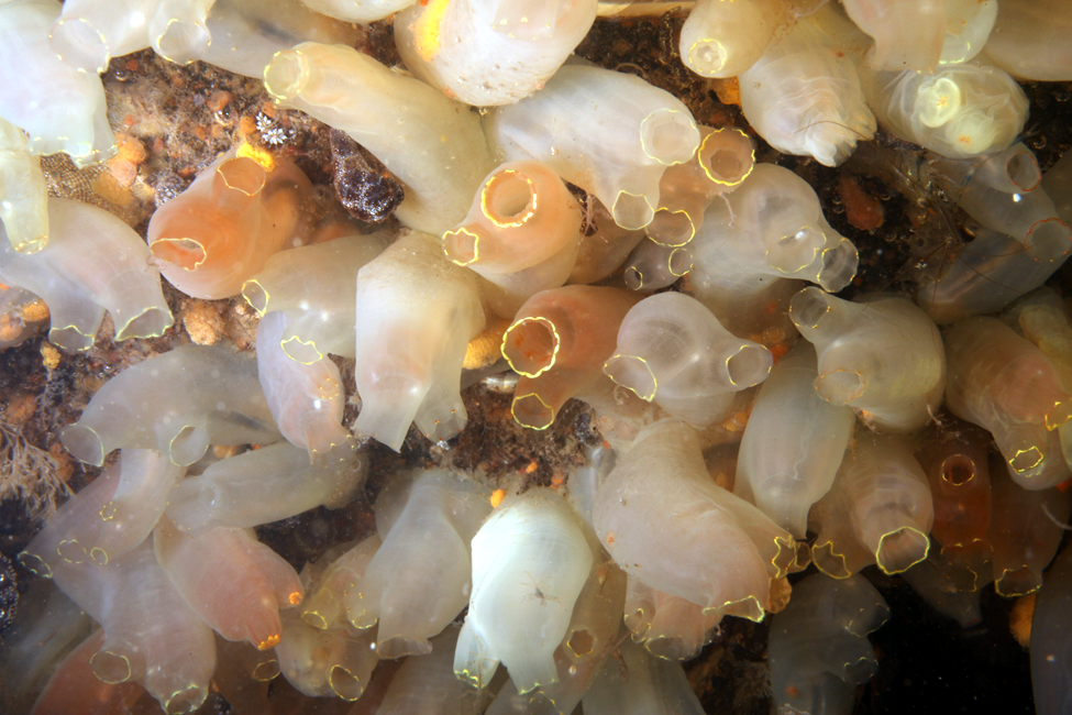 The introduced tunicate Ciona intestinalis at Hampton River Marina in Hampton, NH.  Introduced tunicates were found at almost every site during the rapid assessment and were usually the dominant space holder.  Photo courtesy of Adriaan Gittenberger (GiMaRIS).