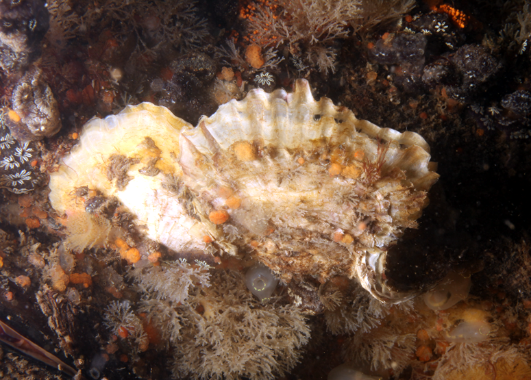 The introduced European oyster Ostrea edulis surrounded by introduced tunicates and bryozoans at Hampton River Marina in Hampton, NH.  The European oyster was found at all coastal sites north of Cape Cod and several sites south.  Photo courtesy of Adriaan Gittenberger (GiMaRIS).