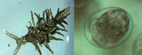 Placida dendritica  as an adult (left) and as a veliger larva (right). Image credit: Seth Goodnight