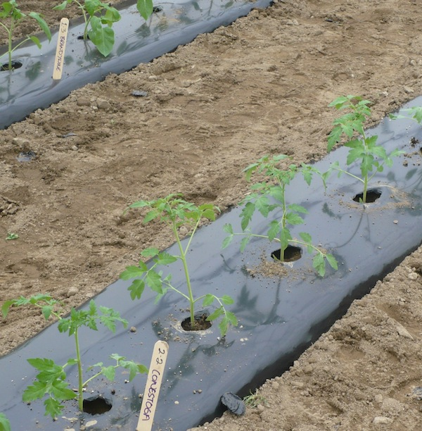 Black plastic mulch covers tomato beds.  Photo credit:  Nick Warren