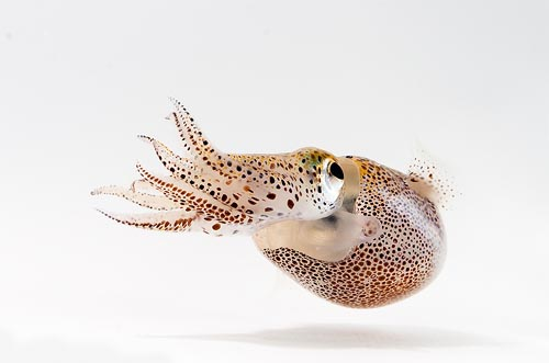 The Hawaiian bobtail squid  Euprymna scolopes   hosts bioluminescent bacteria within its special light organ.  Photo courtesy of gatech.edu.