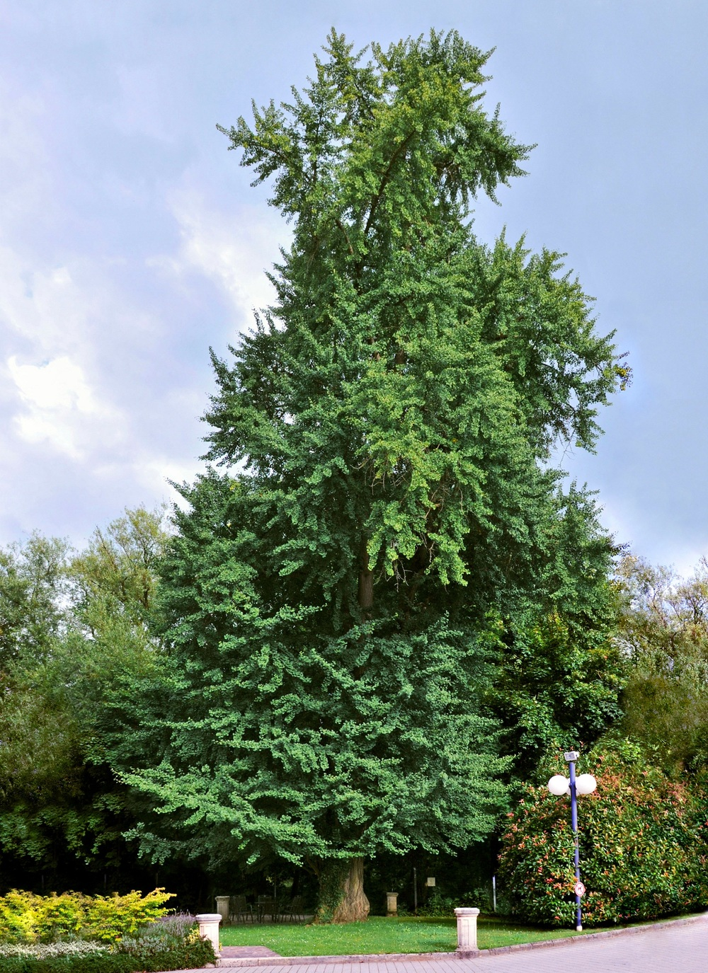 The lonely  Gingko biloba   tree. The last member of an ancient phylum. Photo credit: Claude Meisch, Wikimedia Commons.