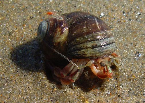 grey-hermit-crab.jpg