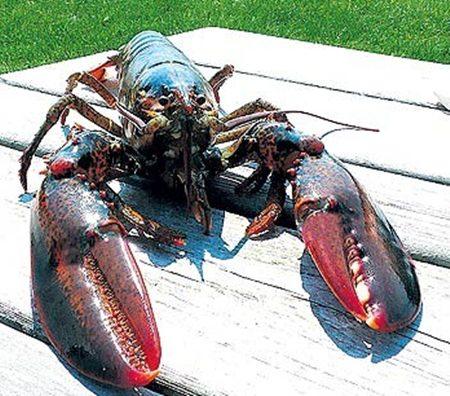 maine-lobster-616158407.jpg