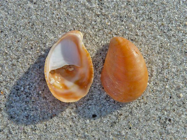 Slipper-Shell.jpg