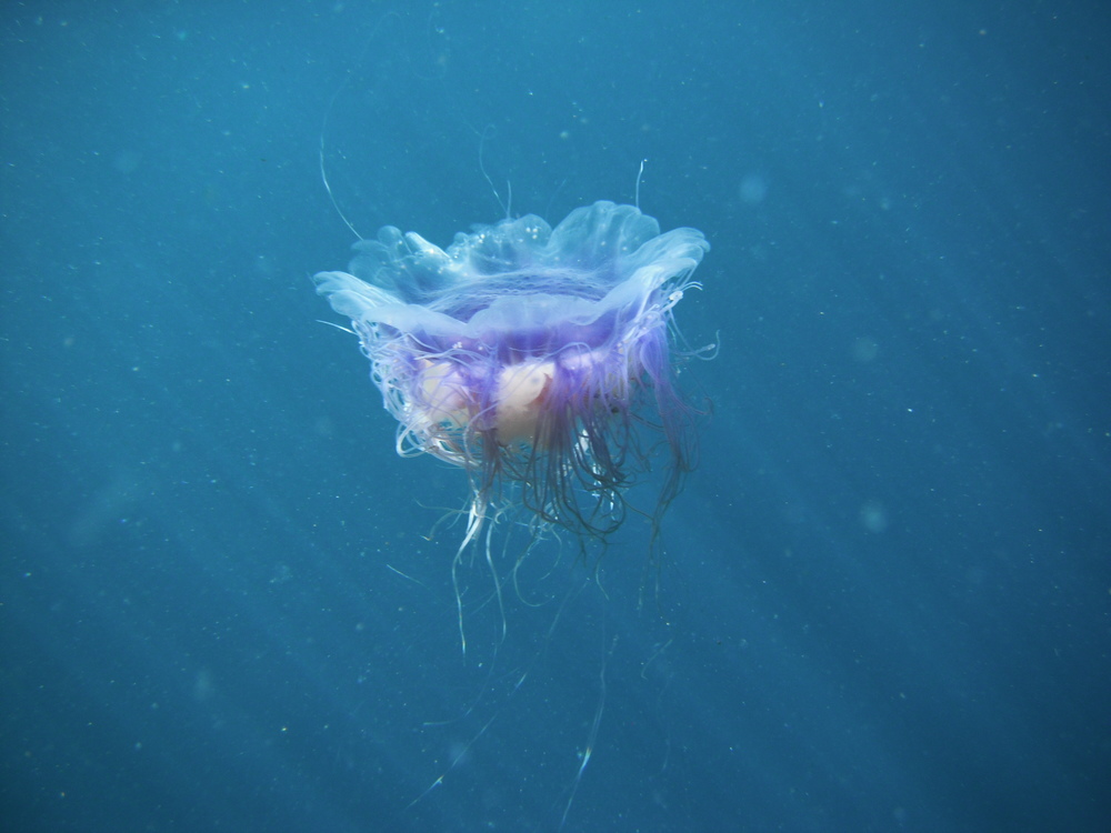 The blue jellyfish, Cyanea lamarckii.  Photo credit: Sara Edquist