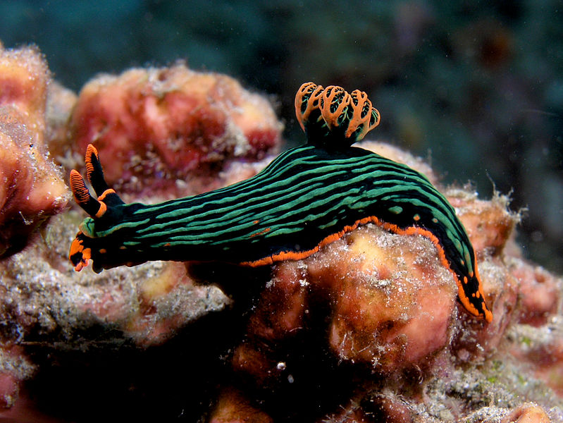 Here's a sea slug. Sure, some slugs are fancy like this one, but I like to look at the ones that aren't classically good-looking too. Photo credit: Nick Hobgood via wikimedia commons.
