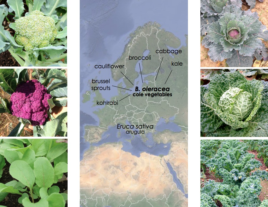 B. oleracea, cole crops.  Photos, clockwise from the top left: broccoli, storage cabbage, savoy cabbage, kale, arugula, and purple cauliflower. Photos: Claire Collie