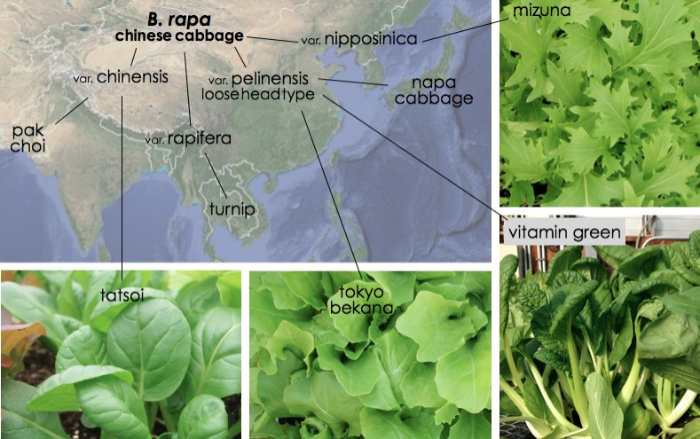 B. rapa, chinese cabbage.  Photos: Clair Collie