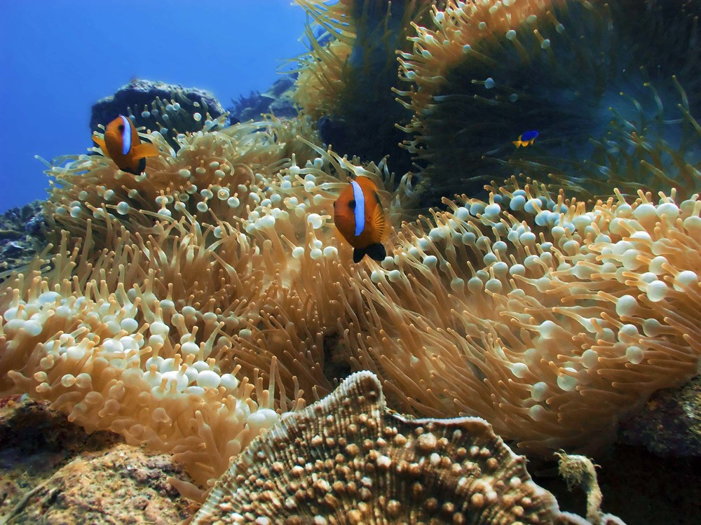 An anemonefish living in its host anemone.  Anemonefish are known to provide nutrients to their host.  Does  R. brucei ?  Photo courtesy of messersmith.name.