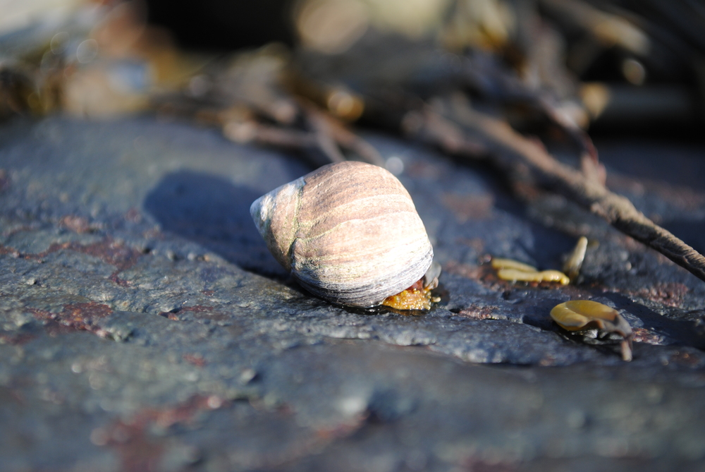 Littorina littorea  , the common periwinkle or edible winkle.  Photo credit: Sara Edquist