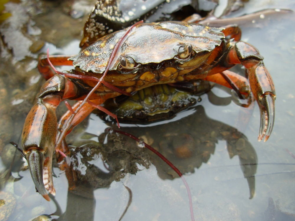 Two   European green crabs,  Carcinus maenas,  mating.  Note the orange color the male, in comparison to the green female beneath that has recently molted is is now ready for mating.  Photo credit:  Ar rouz