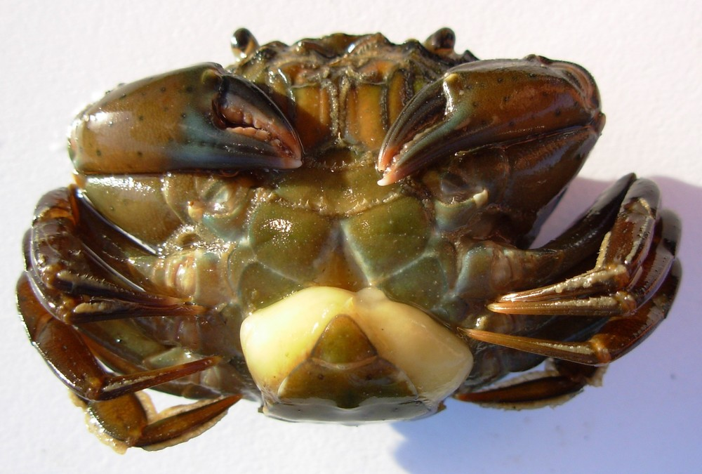 A European green crab,  Carcinus maenas,  infected with a parasitic barnacle ( Sacculina carcini  ).  Photo credit:  Ar rouz