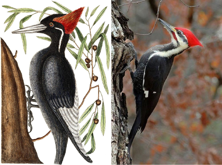 Can you tell these two apart? The ivory billed woodpecker is on the left, and the pileated one is on the right. Image sources: aymon, wikimedia commons.
