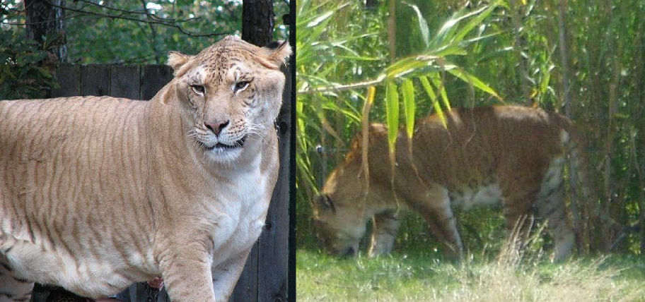A liger (left) is a hybrid between a male lion and a female tiger. A tigon (right) comes from a female lion and a male tiger. Image sources: wikimedia commons.