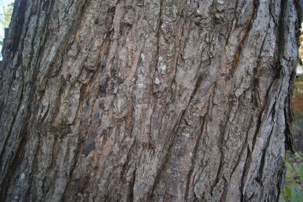 Furrowed (thick, cracked) bark. Photo credit: Alena Warren