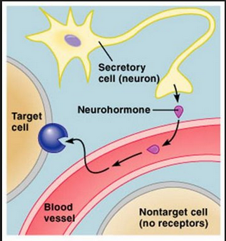 A basic figure on how a neurohormone is created and released. Photo credit: Biology 8th Edition (Raven)