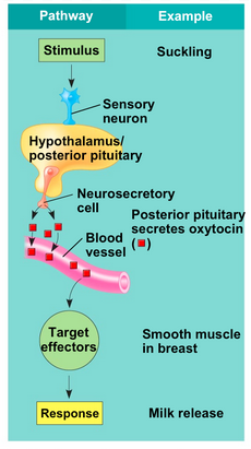 An example of neurohormone (oxytocin) regulation and release from the brain, traveling to target tissues to stimulate downstream hormones. Photo credit: Biology 8th Edition (Raven)