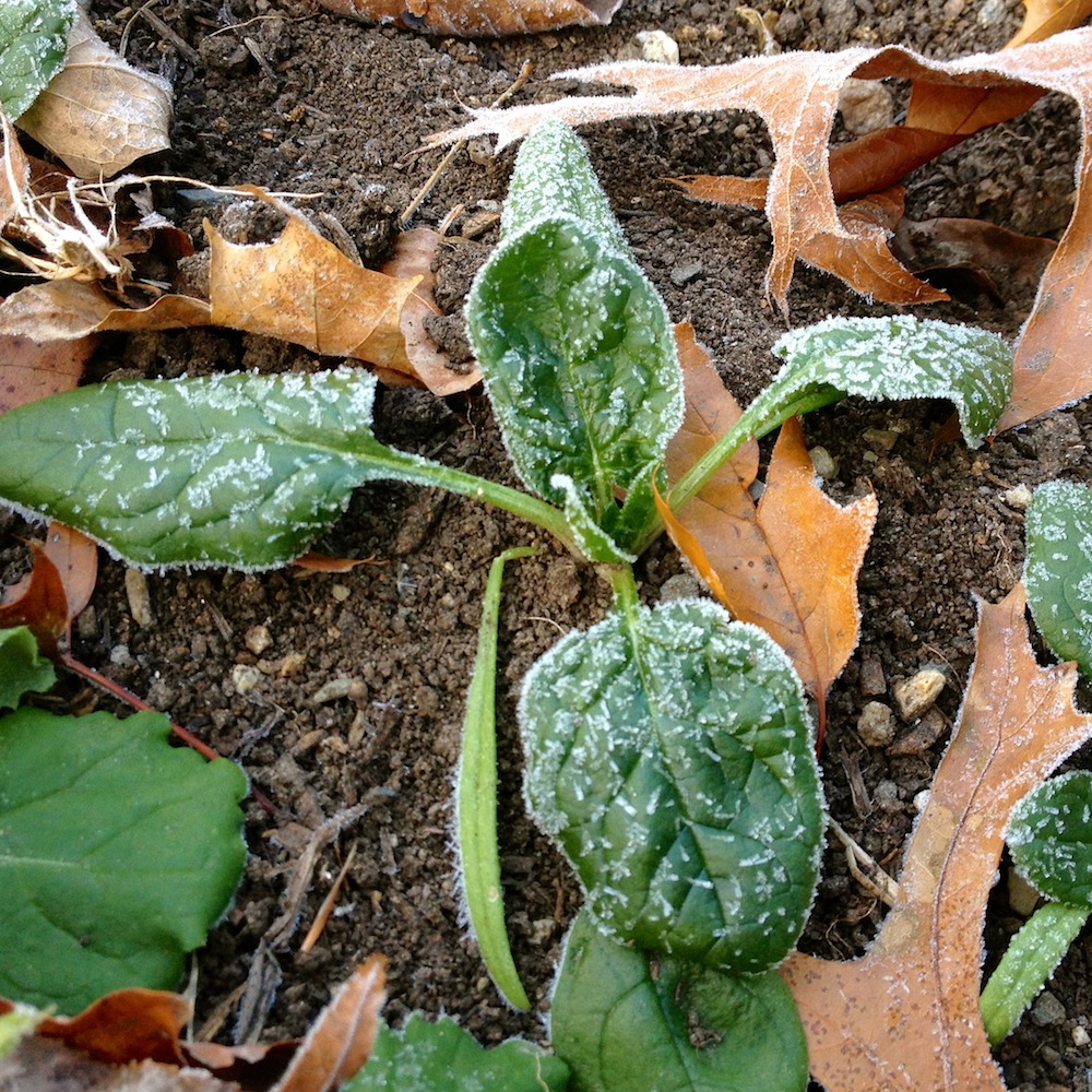 This spinach is frozen now, but will recover once it thaws.  Photo credit: Claire Collie