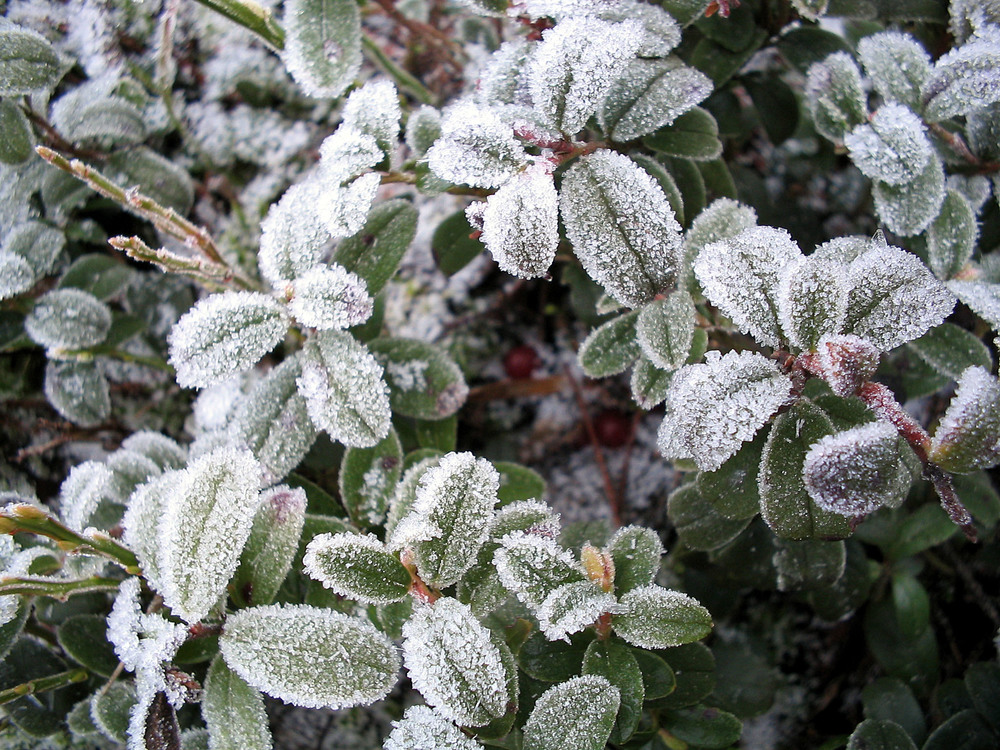 Potentially damaging frost on lingonberry leaves that could have been caused by Pseudomonas syringae.