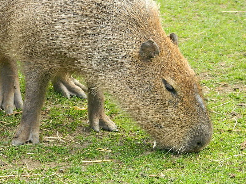 This capybara is demonstrating how most animals make use of photosynthesis. Image credit: user FinlayCox143, wikimedia commons.