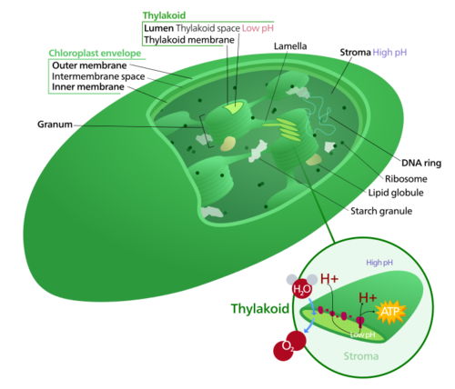 Survival of the chloroplast feed the data monster this was once a cyanobacterium image source user kelvinsong wikimedia commons ccuart Gallery
