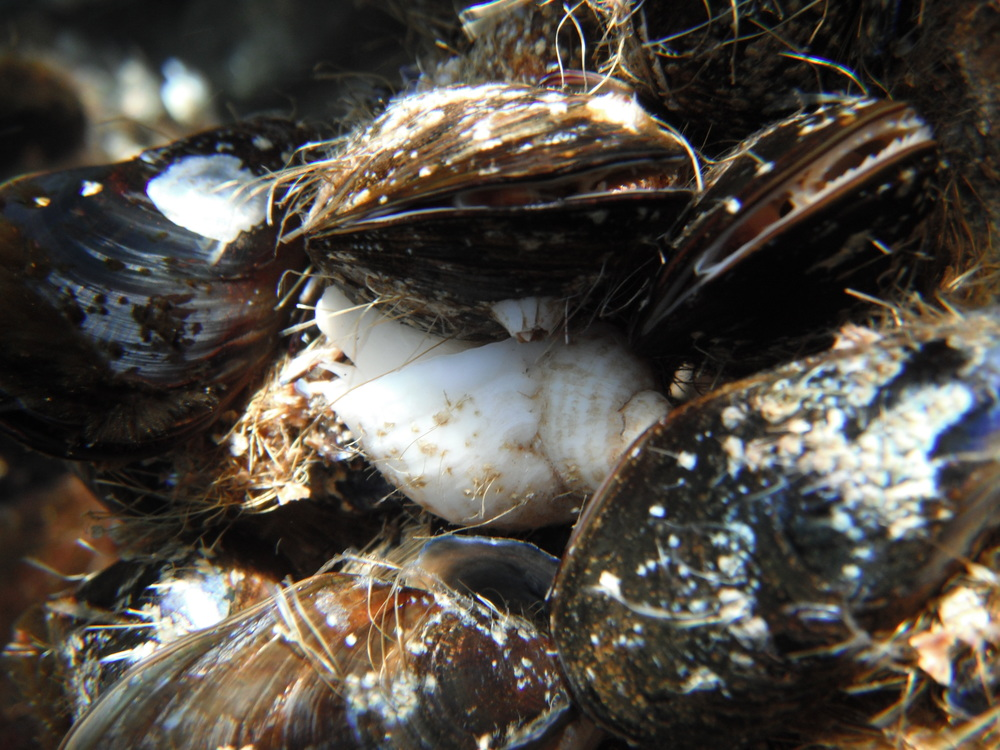 A clump of blue mussels,  Mytilus edulis , and a predatory dogwelk,  Nucella lapillus .  Both of these organisms are found in the intertidal and display varying degrees of resistance/tolerance to freezing.  Photo credit: Sara Edquist