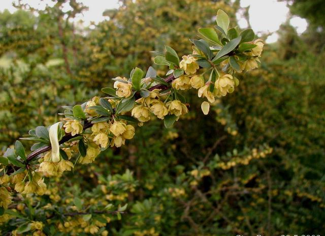 Berberis thunbergii flowers. Photo credit:  wikimedia commons
