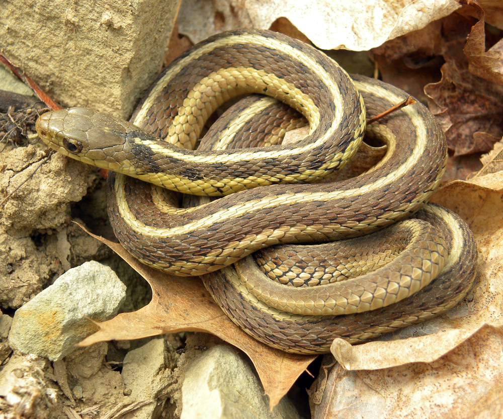 The common garter snake  Thamnophis sirtalis .  Photo courtesy of wikipedia.org.