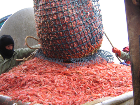 A catch of Northern shrimp, Pandalus borealis, being hauled aboard of fishing boat.  Credit: wikimedia commons - NOAA FishWatch