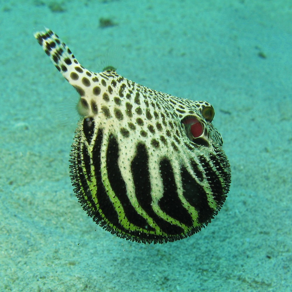 Many species of pufferfish have endosymbiotic bacteria within their intestines which produce the neurotoxin tetrodotoxin.  Photo courtesy of wikipedia.org.