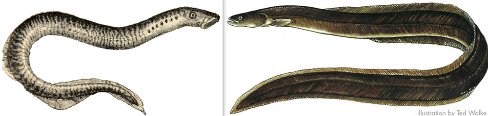 What a lamprey (left) looks like in comparison to an eel (right).