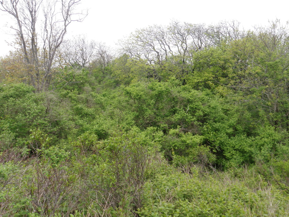 An example of New England cottontail habitat: dense, shrubby vegetation. Photo credit: Alena Warren